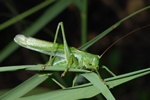 Tettigonia viridissima
